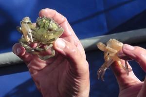 Gefangene Krabben werden erklärt