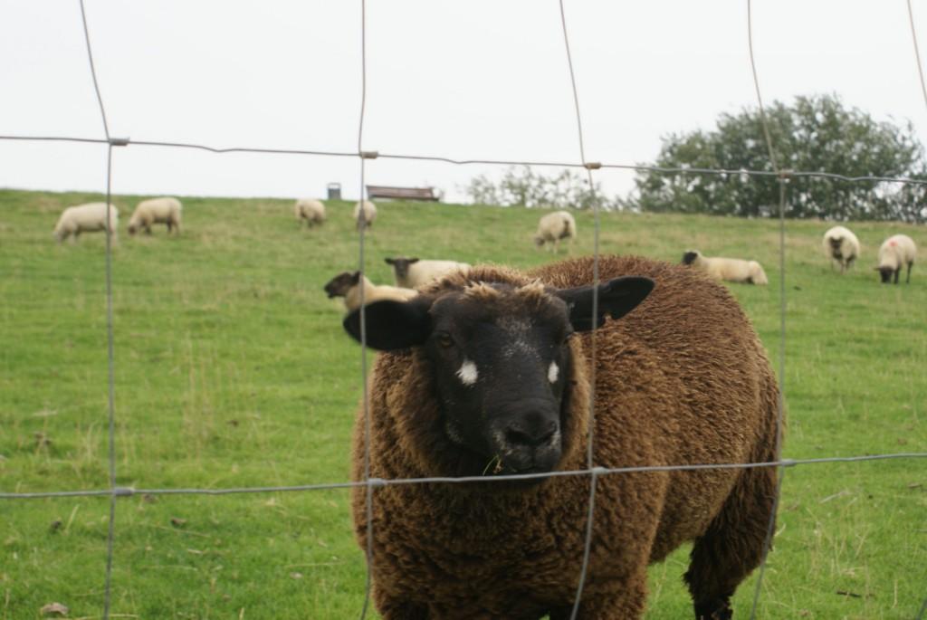 Nahaufnahme vom vieräugigen Schaf