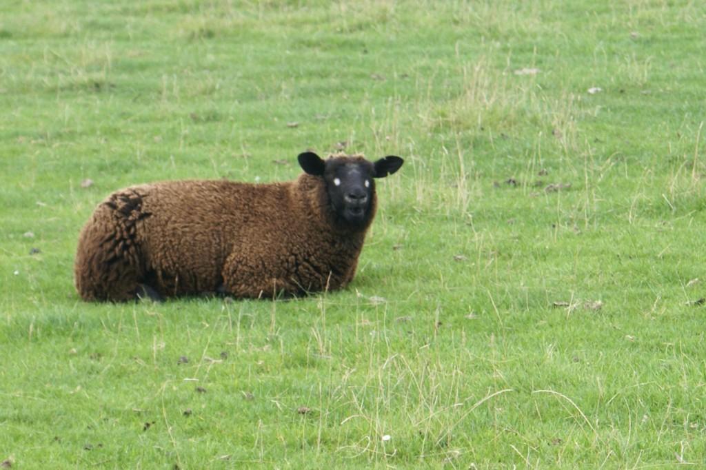 Vieräugiges Schaf